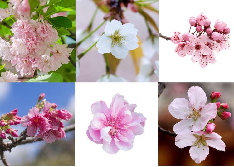Yuk Mari Kenali 10 Jenis Bunga Sakura Di Jepang